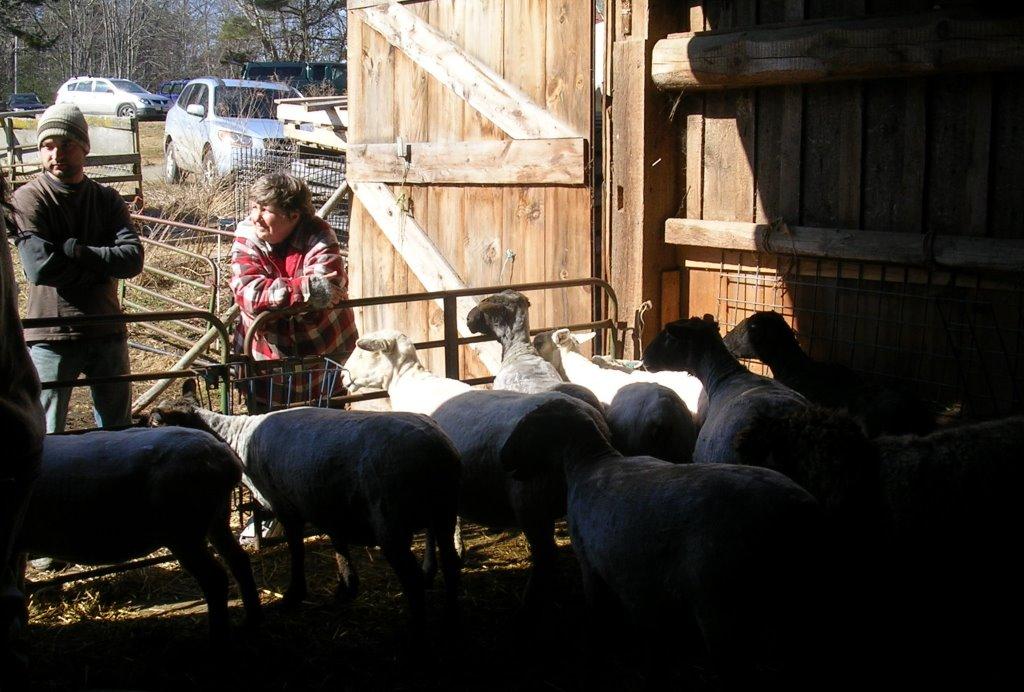 Shearing_20120310_08