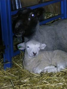 Snoozie lamb