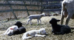 Lambs hang out in the sunshine while their Mom's are busy at the hay feeders.