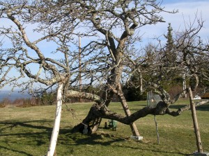 This ancient apple tree couldn't be identified by the experts during a recent census.  It produces apples that weight about a pound each!  Becky & Bill have been asked to name it.