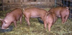 Tamworth piglets are this wonderful red/brown color.