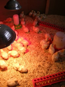 Cornish chicks at home in their cozy brooder