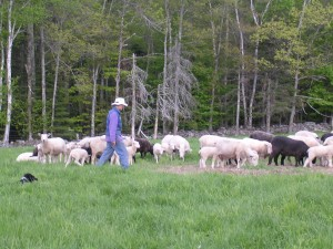 The dogs help Paula gather the ewes & their lambs.