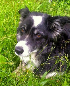 On his 13th birthday, Skye'd rather gather the sheep but Jim made him lie down to have his picture taken. Doesn't he look bored?!