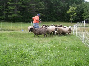 When Jim opens the fence, they race through to the new grass.  The ba-a-a-aing is deafening and excited!