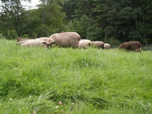 At first, the group is so happy to be munching fresh greens that they graze as a group.
