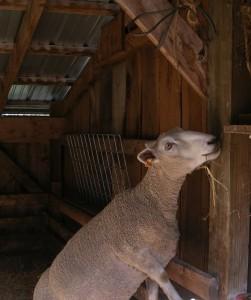 inspection ewe
