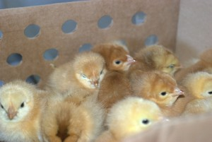 the chicks huddle to stay warm
