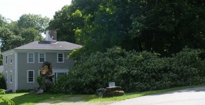 maple tree down