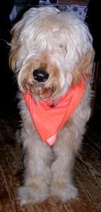 color pic - Goldendoodle wearing a dayglo orange scarf