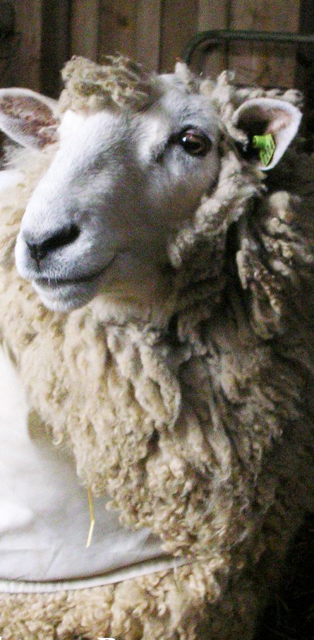 color photo: shadowy head shot of Hatchtown ram Reece