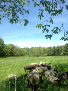 color photo: ewes enjoying the shade out in succulent pasture